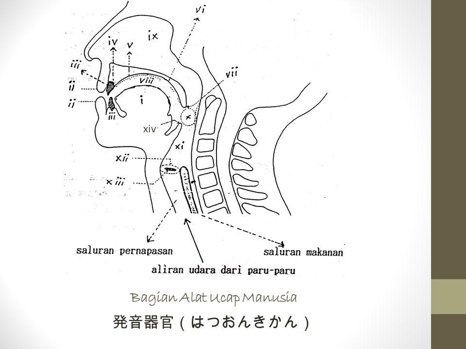Bagian Alat Ucap Manusia 発音器官(はつおんきかん) xiv