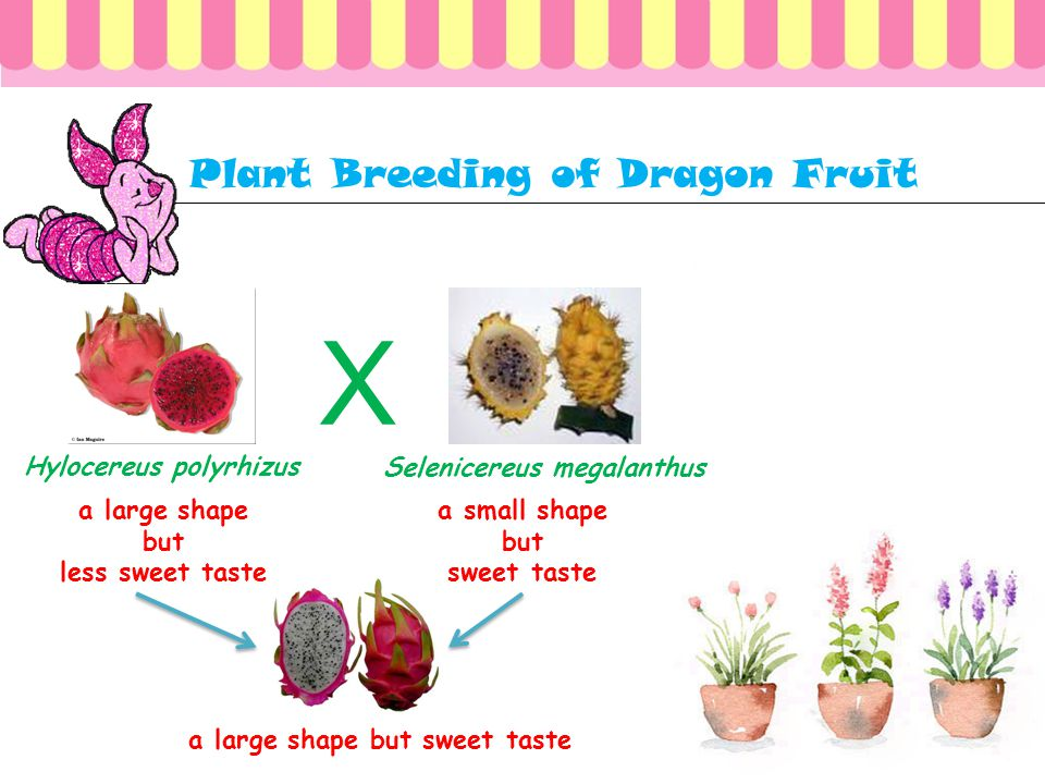 In nature available of dragon fruit that have not been able to satisfy customers: 1. dragon fruit available to form a large but less sweet taste 2. th