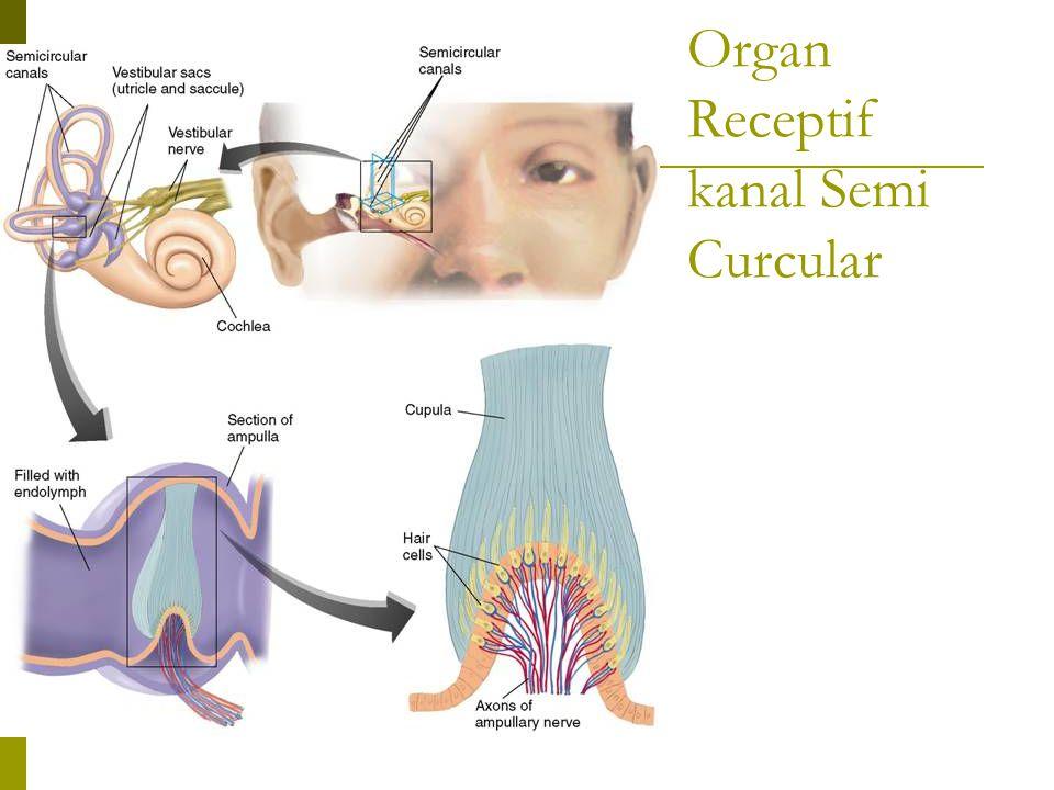 Organ Receptif kanal Semi Curcular