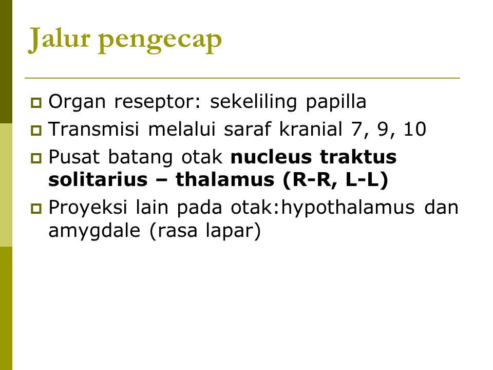 Jalur pengecap  Organ reseptor: sekeliling papilla  Transmisi melalui saraf kranial 7, 9, 10  Pusat batang otak nucleus traktus solitarius – thalam