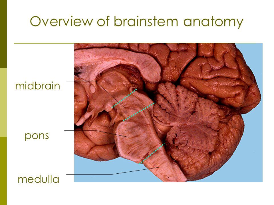 midbrain pons medulla Overview of brainstem anatomy