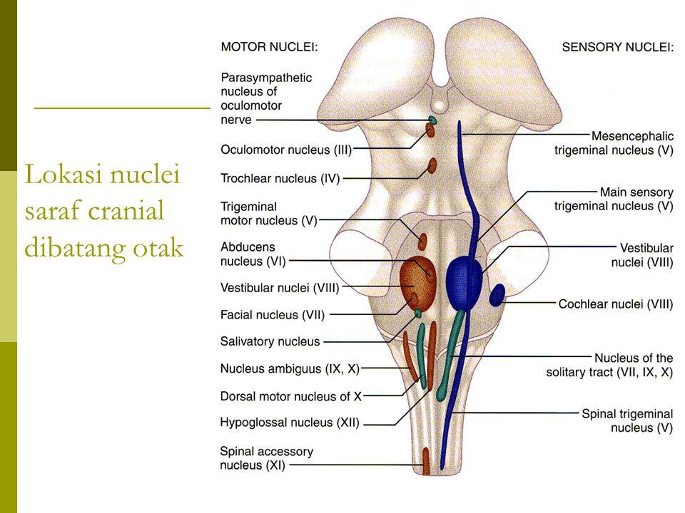 Lokasi nuclei saraf cranial dibatang otak