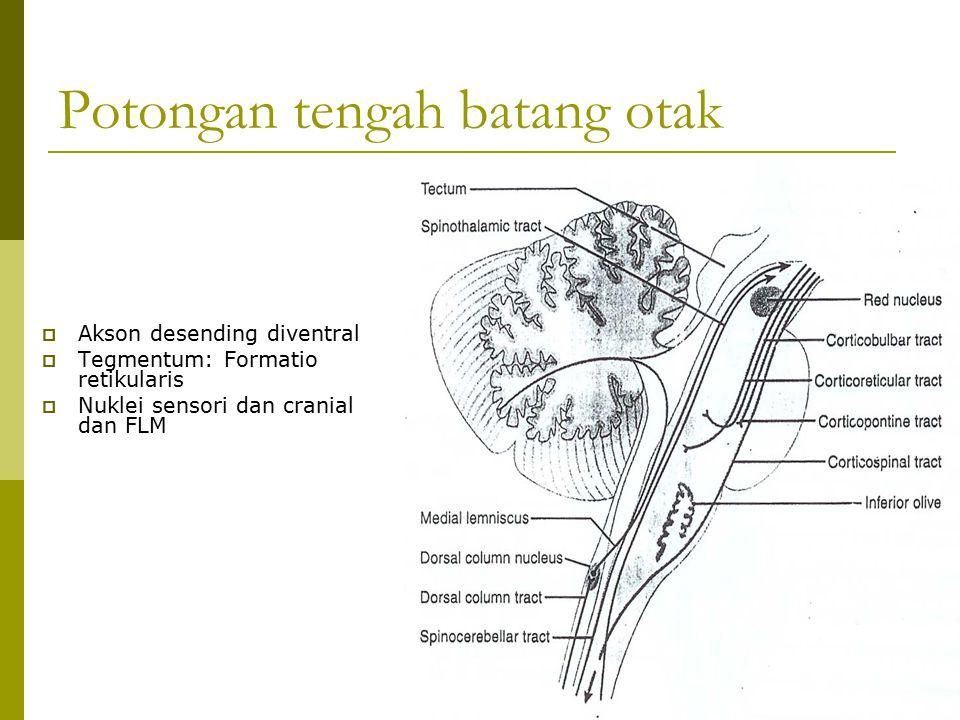 Potongan tengah batang otak  Akson desending diventral  Tegmentum: Formatio retikularis  Nuklei sensori dan cranial dan FLM