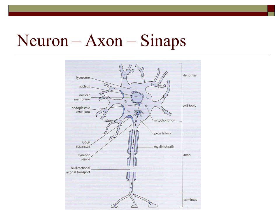 Neuron – Axon – Sinaps
