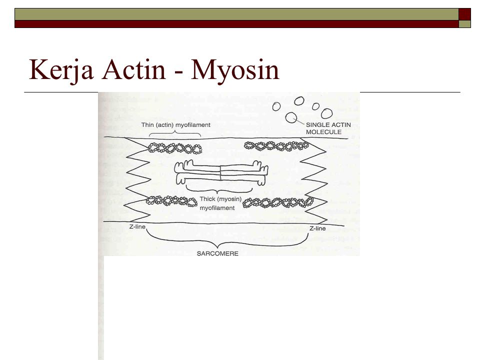 Kerja Actin - Myosin