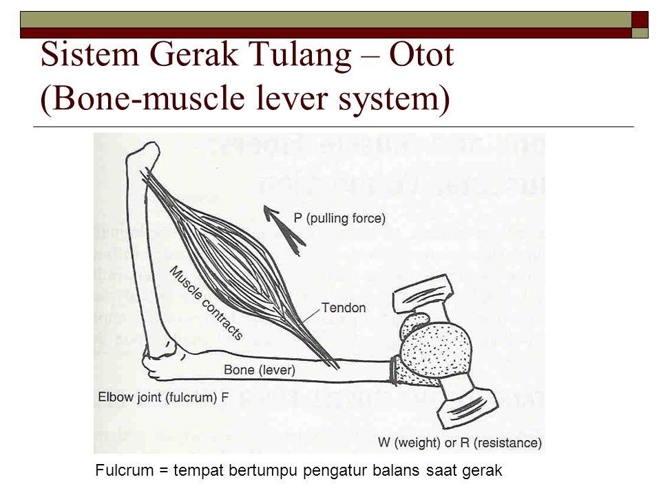 Sistem Gerak Tulang – Otot (Bone-muscle lever system) Fulcrum = tempat bertumpu pengatur balans saat gerak