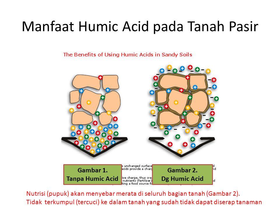 Manfaat Humic Acid pada Tanah Pasir Nutrisi (pupuk) akan menyebar merata di seluruh bagian tanah (Gambar 2). Tidak terkumpul (tercuci) ke dalam tanah