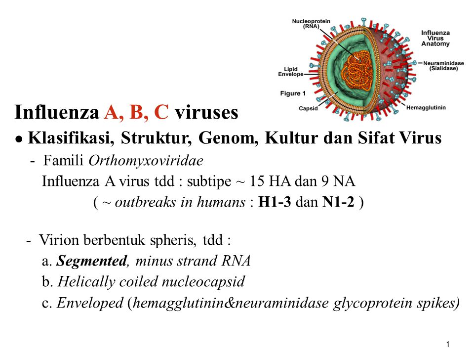 2 - Genom :13000-15000 nt, tdd 7-8 segmen (reassortment !); menyandi 10-11 macam protein.