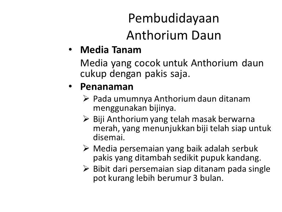 Pembudidayaan Anthorium Daun Media Tanam Media yang cocok untuk Anthorium daun cukup dengan pakis saja. Penanaman  Pada umumnya Anthorium daun ditana