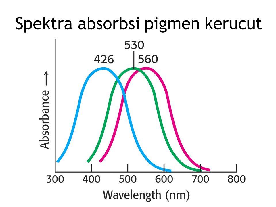 Spektra absorbsi pigmen kerucut