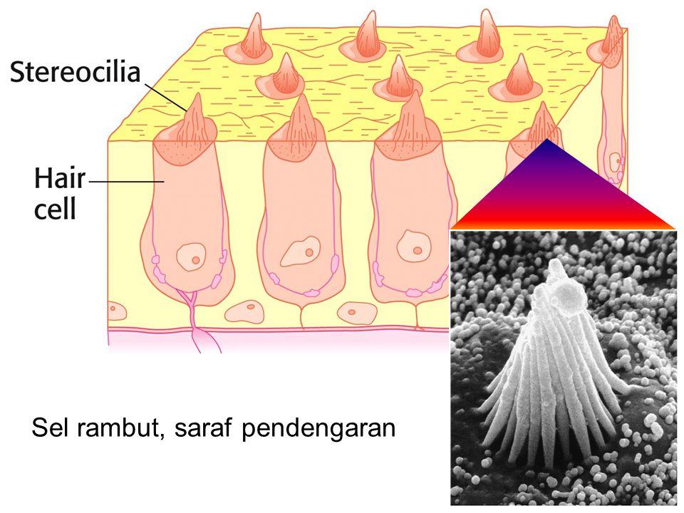 Sel rambut, saraf pendengaran