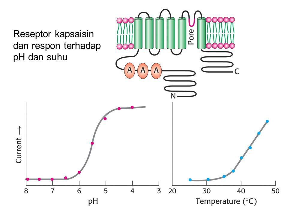 Reseptor kapsaisin dan respon terhadap pH dan suhu