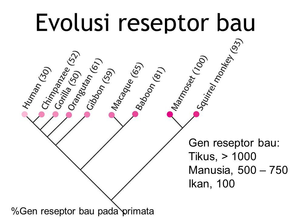 Evolusi reseptor bau Gen reseptor bau: Tikus, > 1000 Manusia, 500 – 750 Ikan, 100 %Gen reseptor bau pada primata