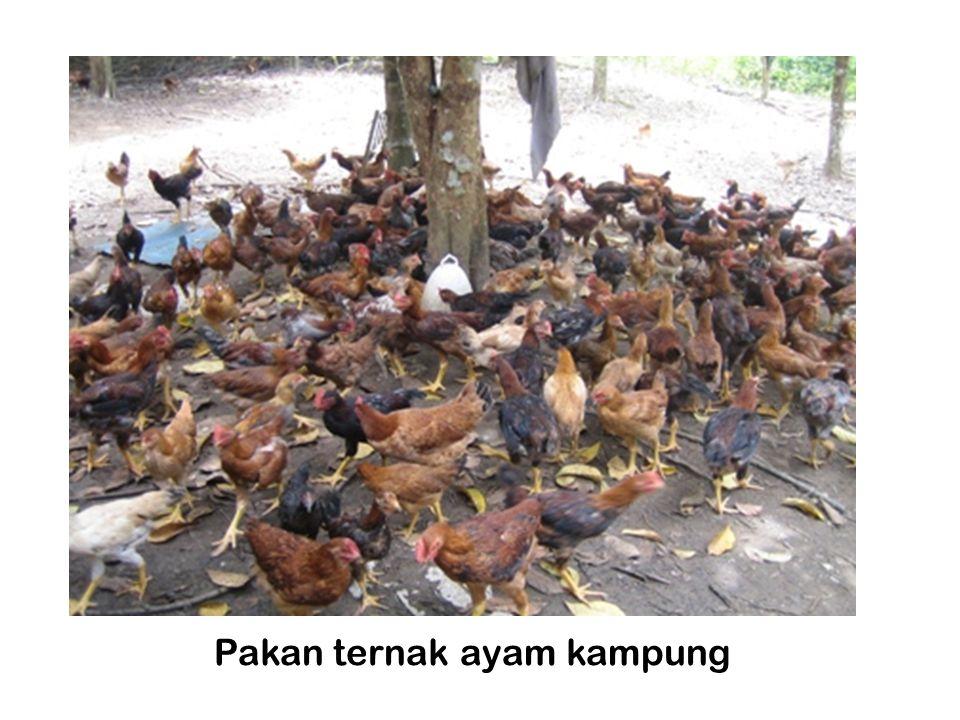 Pakan ternak ayam kampung