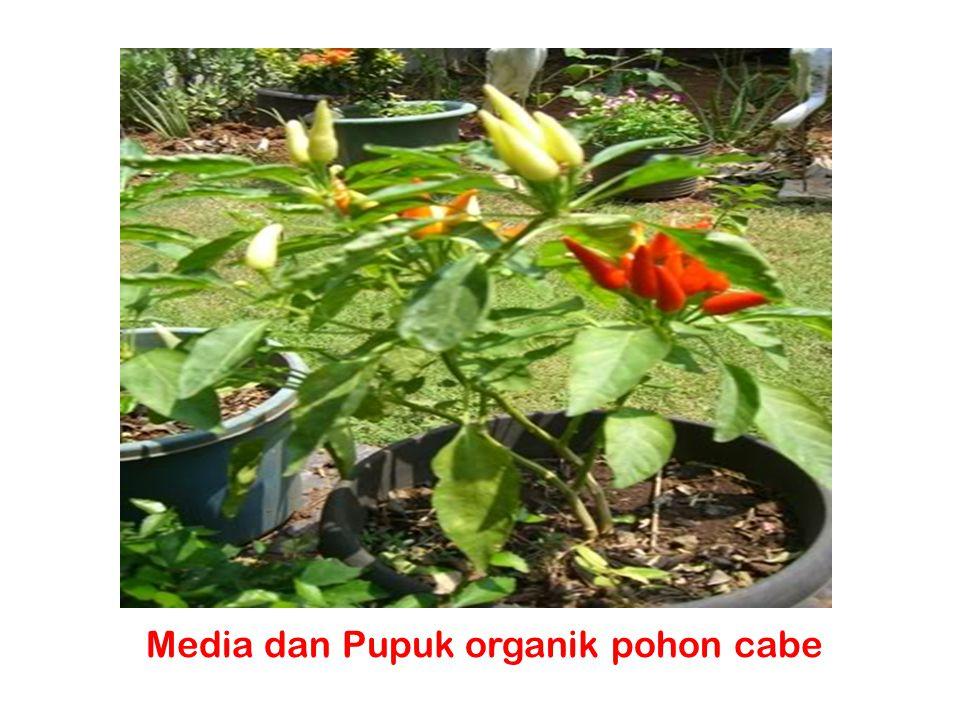 Media dan Pupuk organik pohon cabe