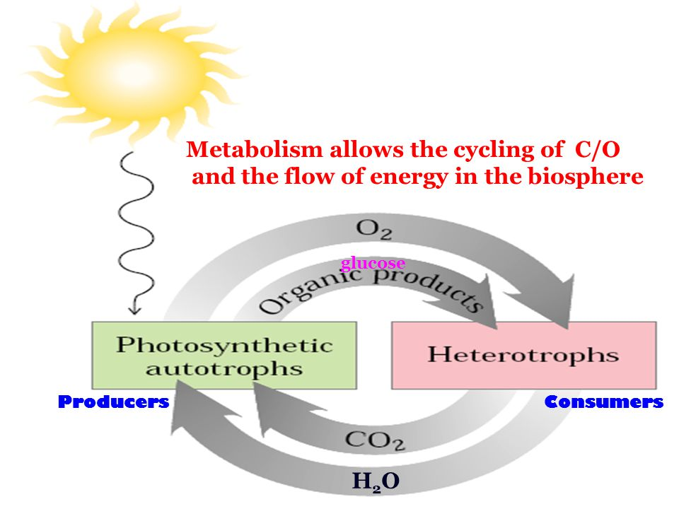 Metabolism in various living organisms allow carbon, oxygen and nitrogen to be cycled in the biosphere.