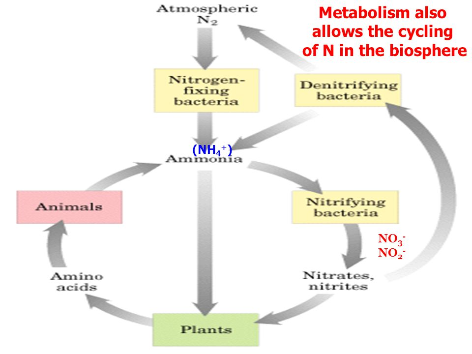 Metabolism allows the cycling of C/O and the flow of energy in the biosphere H2OH2O glucose ProducersConsumers