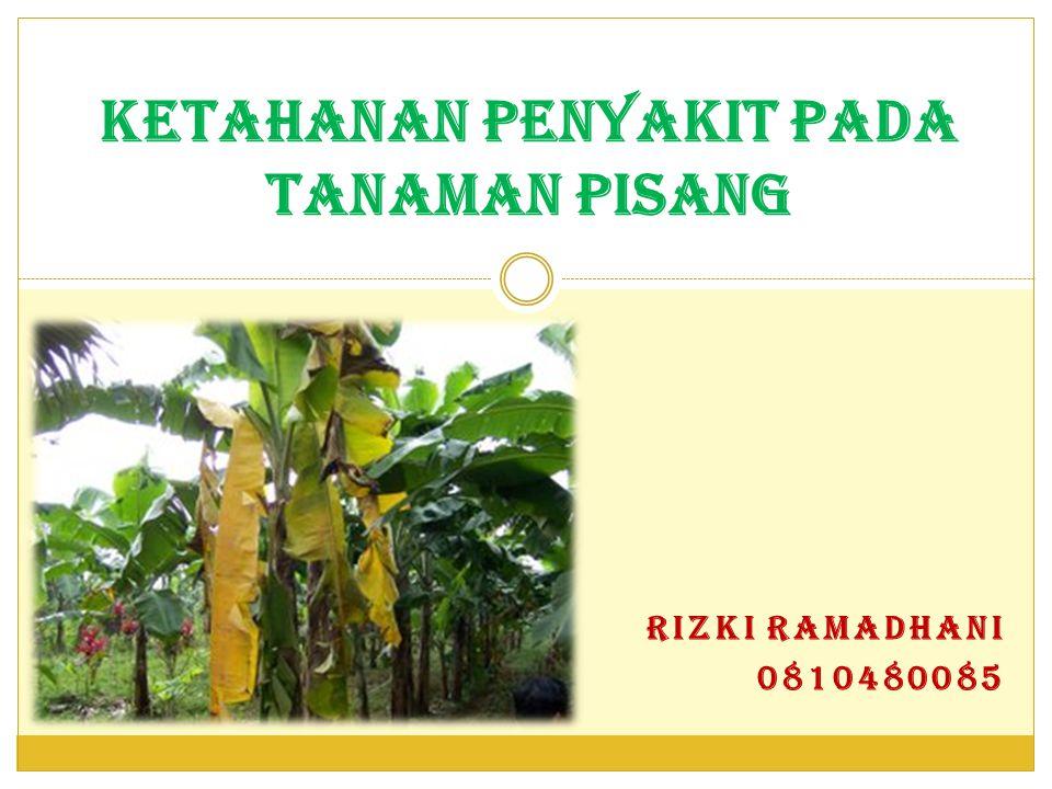 SEKILAS TENTANG PISANG Pisang merupakan komoditas yang menduduki tempat pertama di Indonesia diantara jenis buah-buahan lainnya, baik dari sisi sebaran, luas pertanaman maupun dari sisi produksinya.