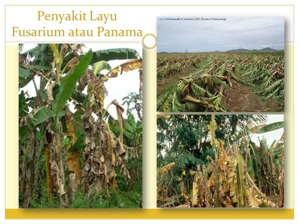 2)Penyakit kerdil pisang Penyebab : Banana Bunchy Top Virus (BBTV).
