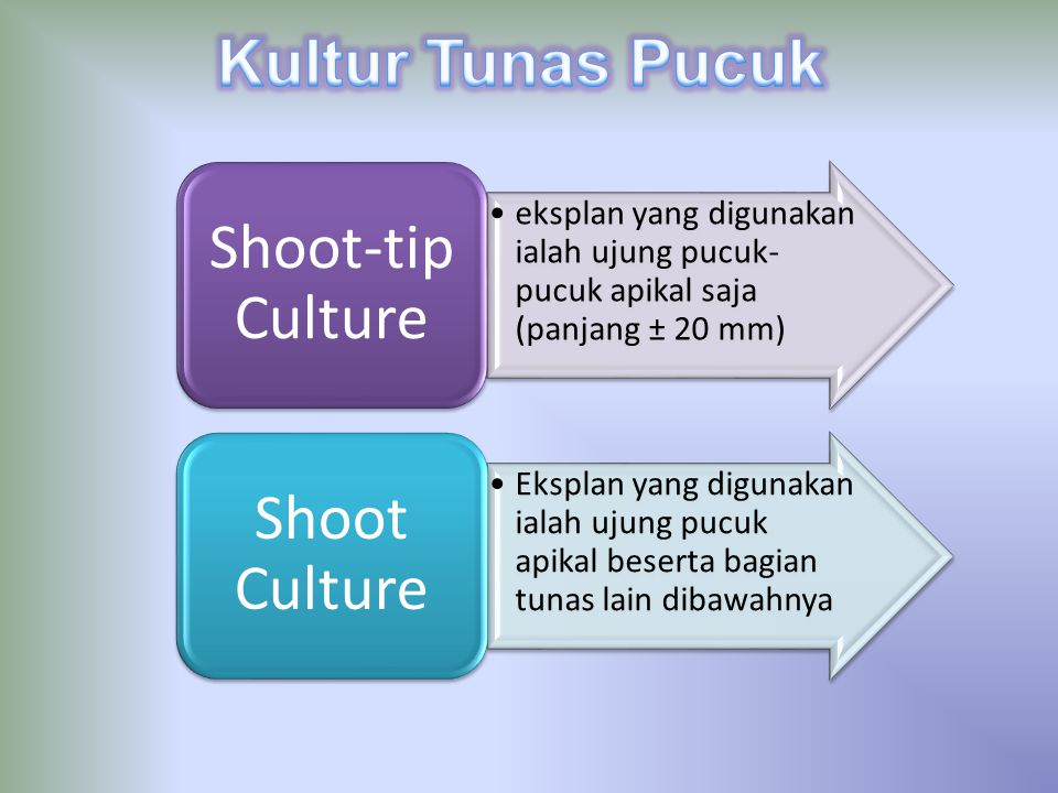 eksplan yang digunakan ialah ujung pucuk- pucuk apikal saja (panjang ± 20 mm) Shoot-tip Culture Eksplan yang digunakan ialah ujung pucuk apikal besert
