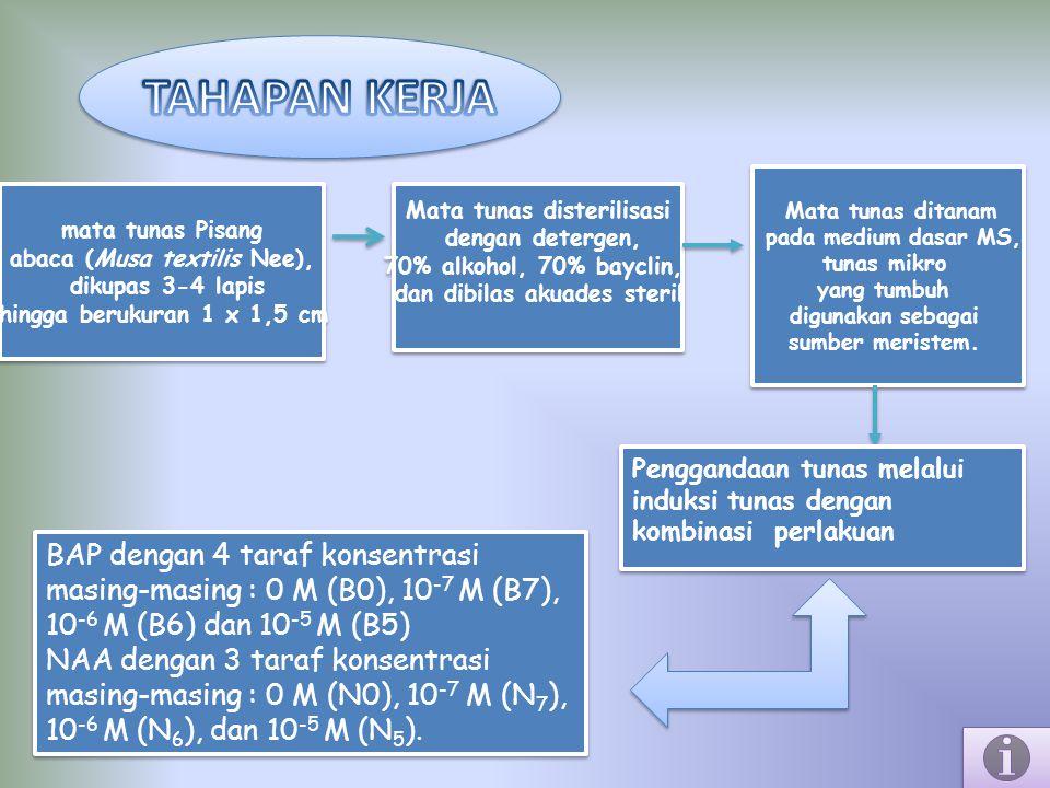 mata tunas Pisang abaca (Musa textilis Nee), dikupas 3-4 lapis hingga berukuran 1 x 1,5 cm mata tunas Pisang abaca (Musa textilis Nee), dikupas 3-4 la