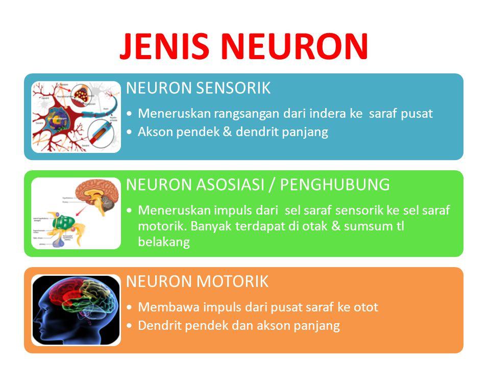 JENIS NEURON NEURON SENSORIK Meneruskan rangsangan dari indera ke saraf pusat Akson pendek & dendrit panjang NEURON ASOSIASI / PENGHUBUNG Meneruskan i