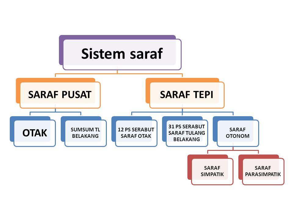 Sistem saraf SARAF PUSATOTAK SUMSUM TL BELAKANG SARAF TEPI 12 PS SERABUT SARAF OTAK 31 PS SERABUT SARAF TULANG BELAKANG SARAF OTONOM SARAF SIMPATIK SA