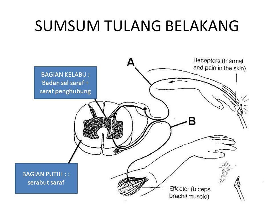 SUMSUM TULANG BELAKANG BAGIAN KELABU : Badan sel saraf + saraf penghubung BAGIAN PUTIH : : serabut saraf