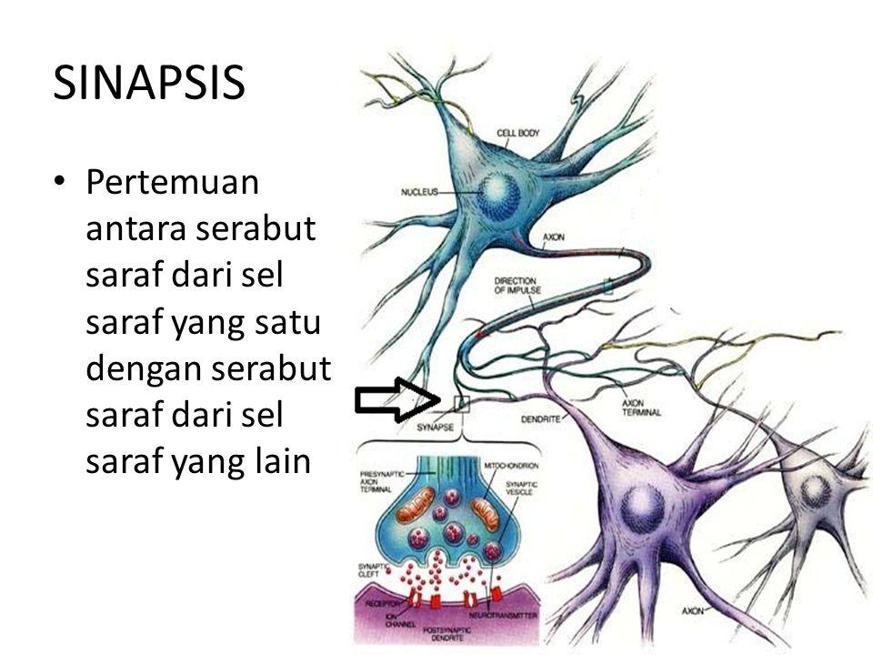 SINAPSIS Pertemuan antara serabut saraf dari sel saraf yang satu dengan serabut saraf dari sel saraf yang lain