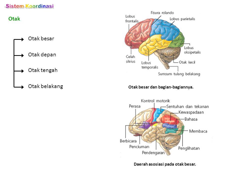 Otak Otak besar dan bagian-bagiannya. Otak besar Otak belakang Otak tengah Otak depan Daerah asosiasi pada otak besar.