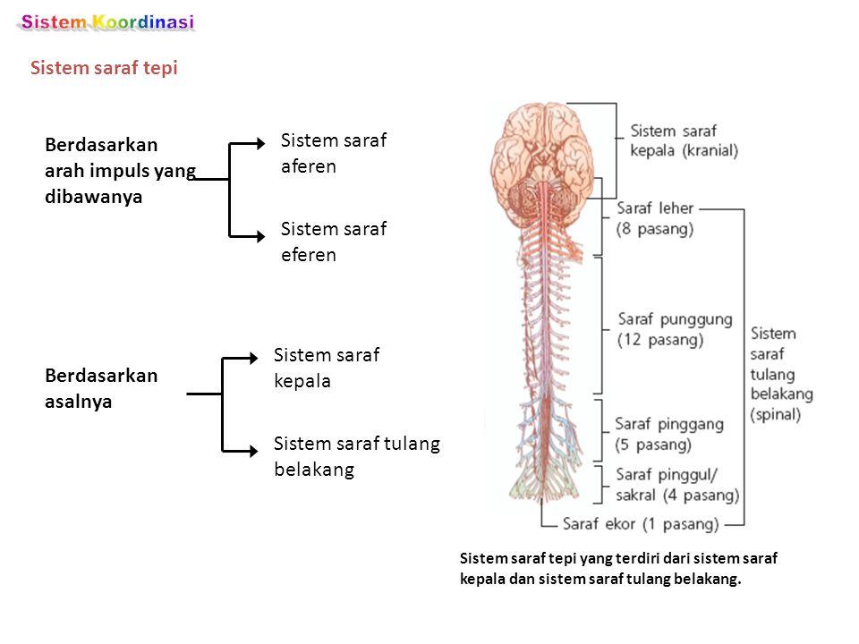 Sistem saraf tepi Berdasarkan arah impuls yang dibawanya Sistem saraf aferen Sistem saraf eferen Berdasarkan asalnya Sistem saraf kepala Sistem saraf