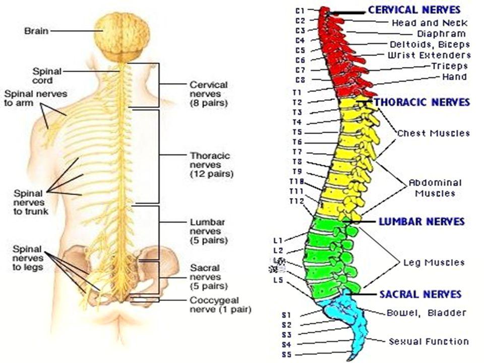 Gerakan biasa atau gerakan sadar adalah gerak yang terjadi melalui serangkaian alur impuls.
