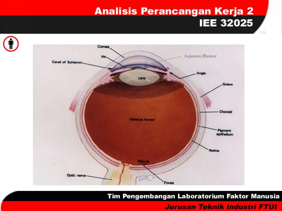 Sinar cahaya yang direfleksikan objek diterima dan melewati kornea yang transparan dan suatu cairan bening (aqueous humor) yang mengisi ruang antara kornea, pupil, dan lensa.