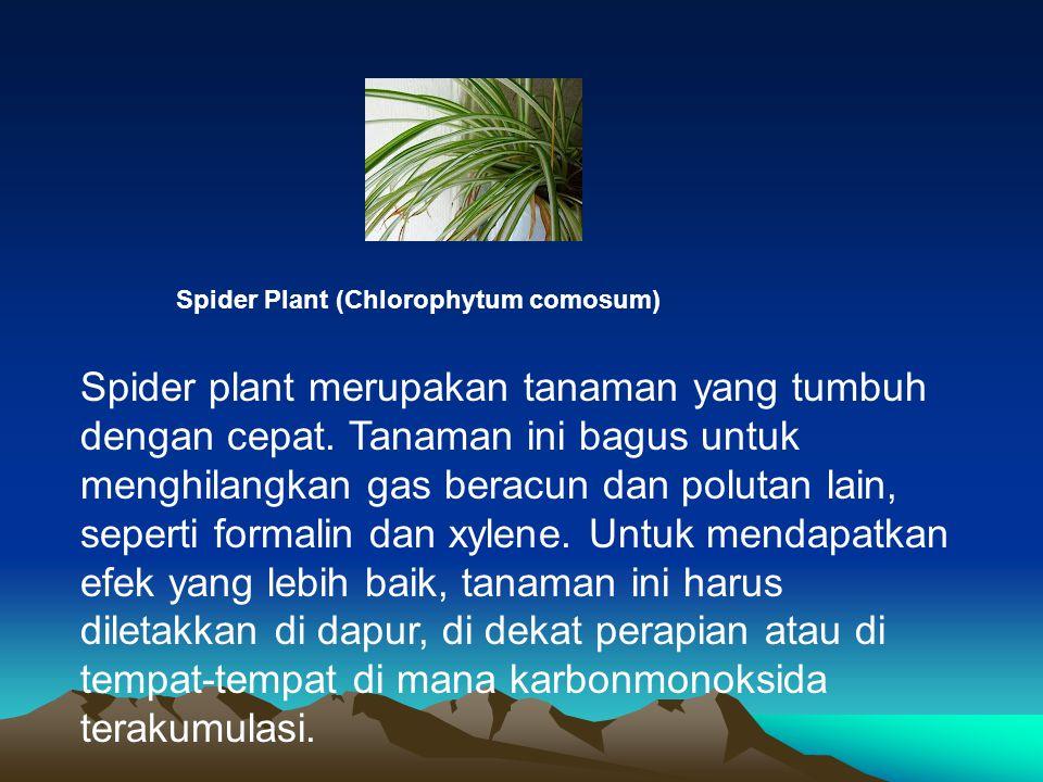 Spider Plant (Chlorophytum comosum) Spider plant merupakan tanaman yang tumbuh dengan cepat. Tanaman ini bagus untuk menghilangkan gas beracun dan pol