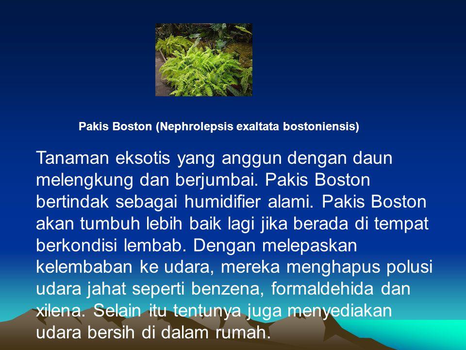Pakis Boston (Nephrolepsis exaltata bostoniensis) Tanaman eksotis yang anggun dengan daun melengkung dan berjumbai. Pakis Boston bertindak sebagai hum