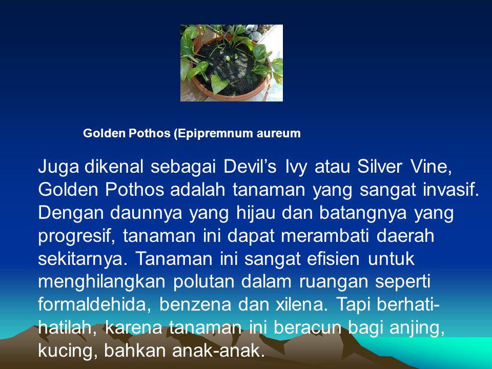 Golden Pothos (Epipremnum aureum Juga dikenal sebagai Devil's Ivy atau Silver Vine, Golden Pothos adalah tanaman yang sangat invasif. Dengan daunnya y