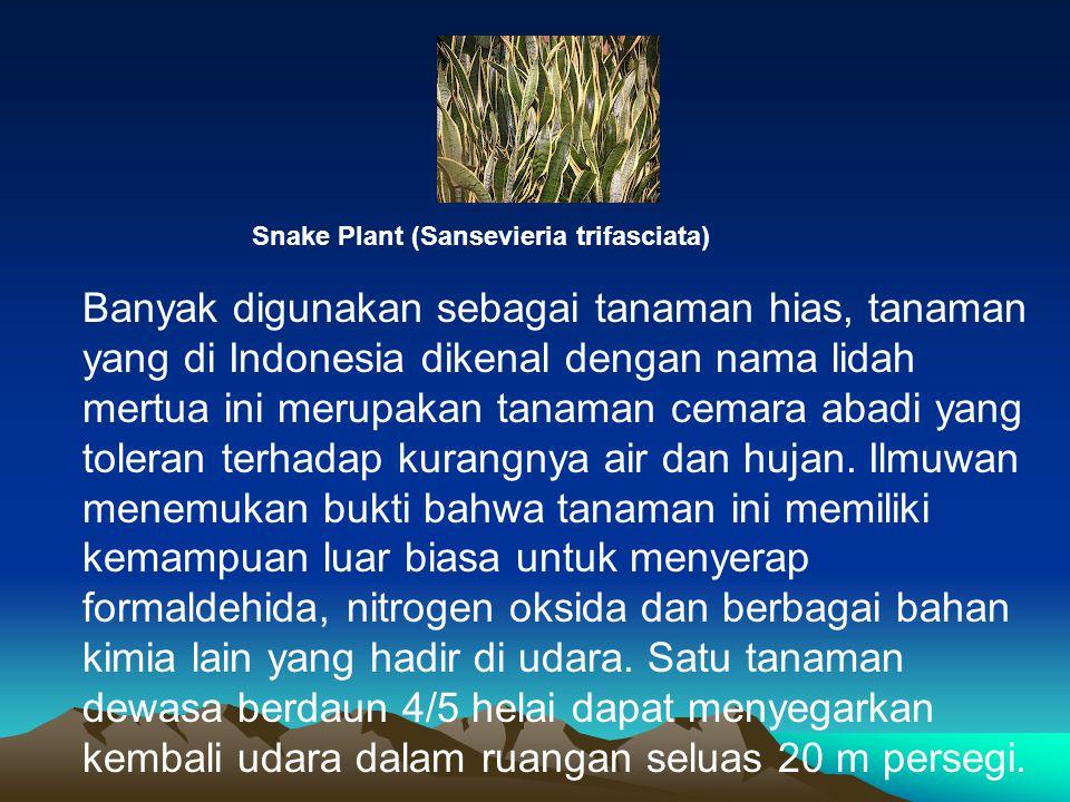 Snake Plant (Sansevieria trifasciata) Banyak digunakan sebagai tanaman hias, tanaman yang di Indonesia dikenal dengan nama lidah mertua ini merupakan