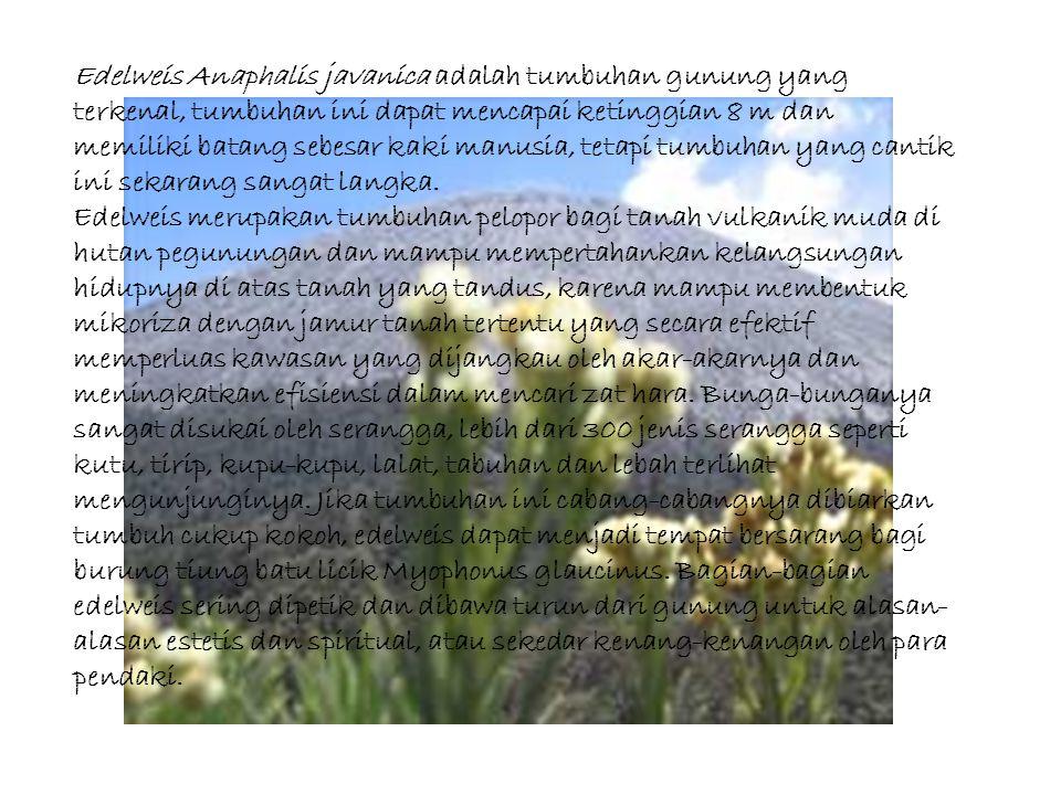 Edelweis Anaphalis javanica adalah tumbuhan gunung yang terkenal, tumbuhan ini dapat mencapai ketinggian 8 m dan memiliki batang sebesar kaki manusia,