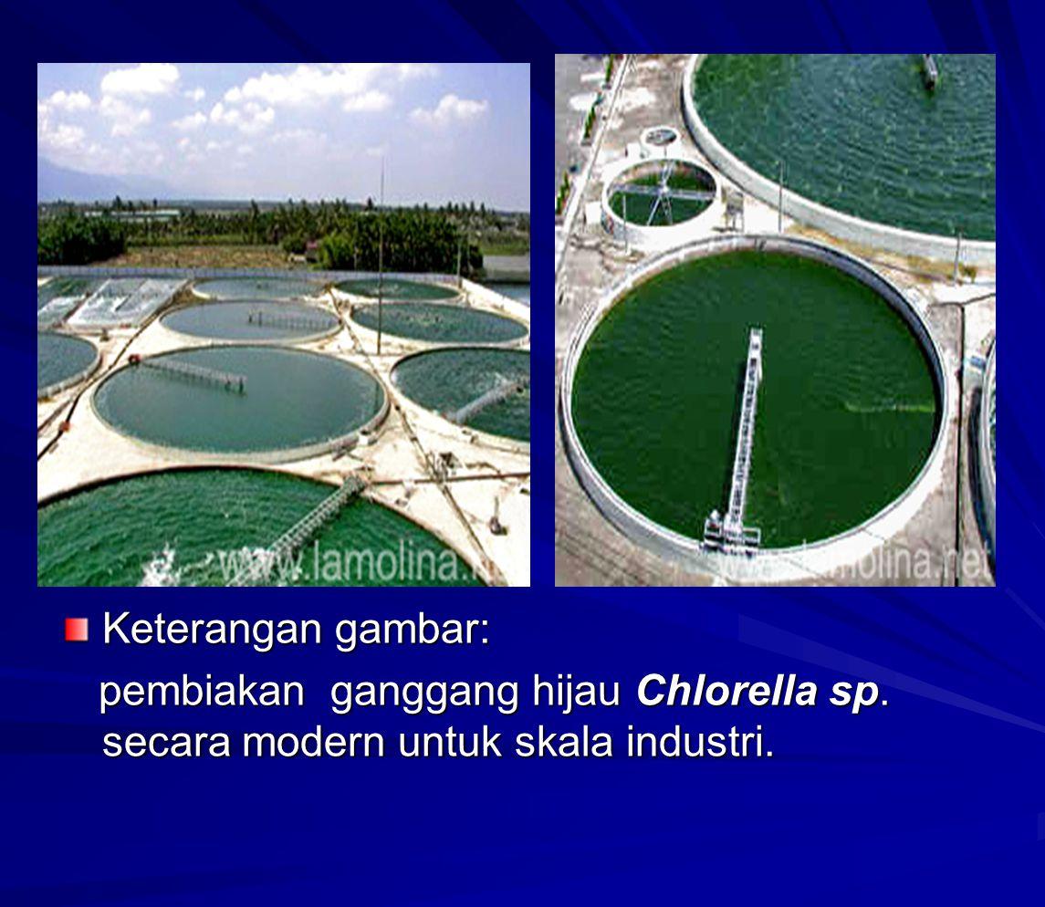 Keterangan gambar: pembiakan ganggang hijau Chlorella sp. secara modern untuk skala industri. pembiakan ganggang hijau Chlorella sp. secara modern unt