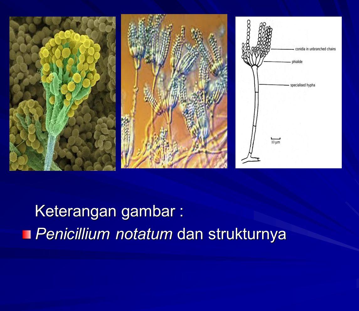 Bilamana bakteri menjadi kebal terhadap penisilin, ↓ penderita tidak dapat disembuhkan.