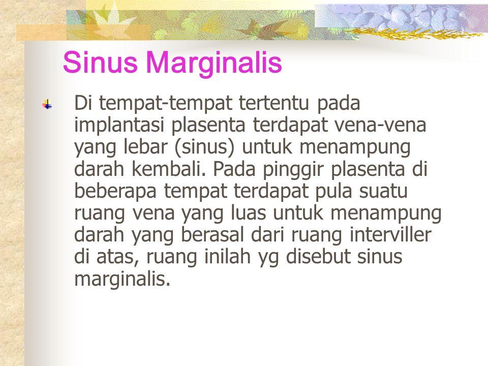 Sinus Marginalis Di tempat-tempat tertentu pada implantasi plasenta terdapat vena-vena yang lebar (sinus) untuk menampung darah kembali.