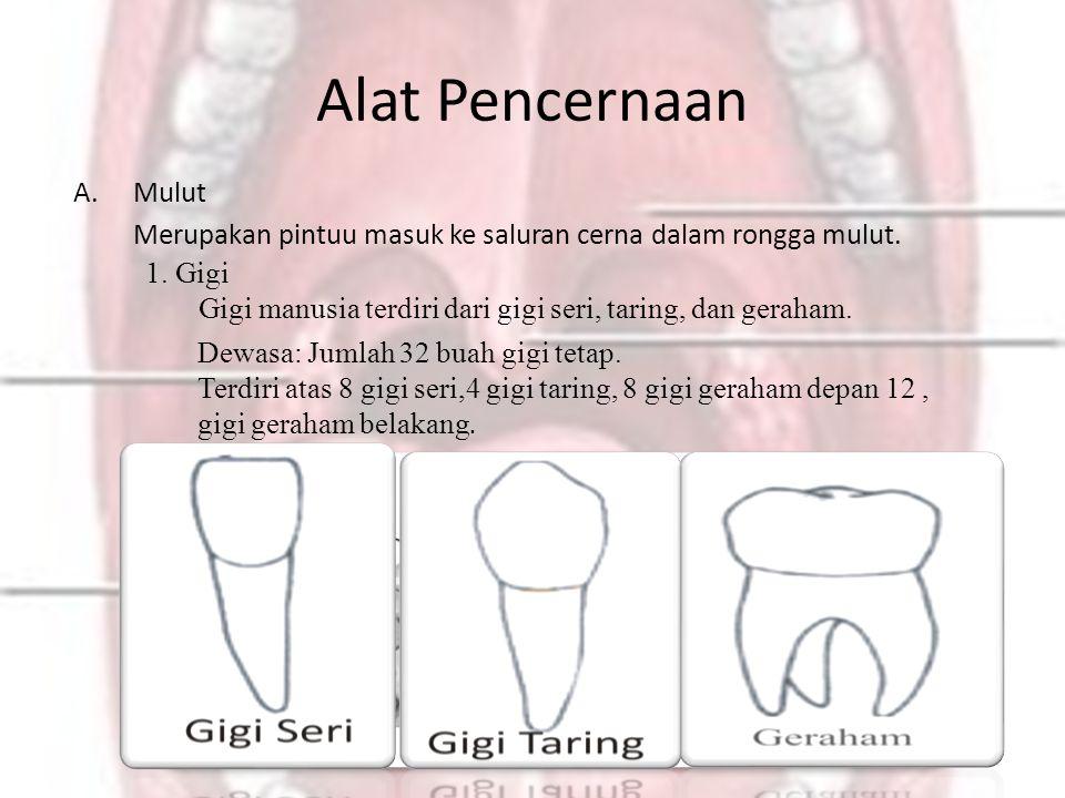 Alat Pencernaan A.Mulut Merupakan pintuu masuk ke saluran cerna dalam rongga mulut. Dewasa: Jumlah 32 buah gigi tetap. Terdiri atas 8 gigi seri,4 gigi