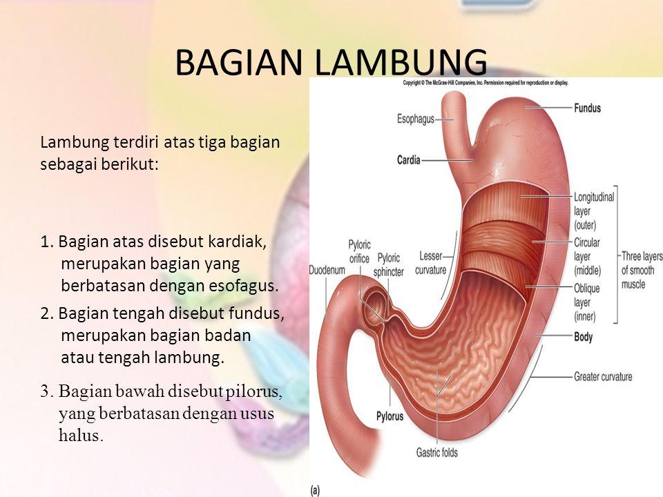 BAGIAN LAMBUNG Lambung terdiri atas tiga bagian sebagai berikut: 1. Bagian atas disebut kardiak, merupakan bagian yang berbatasan dengan esofagus. 2.