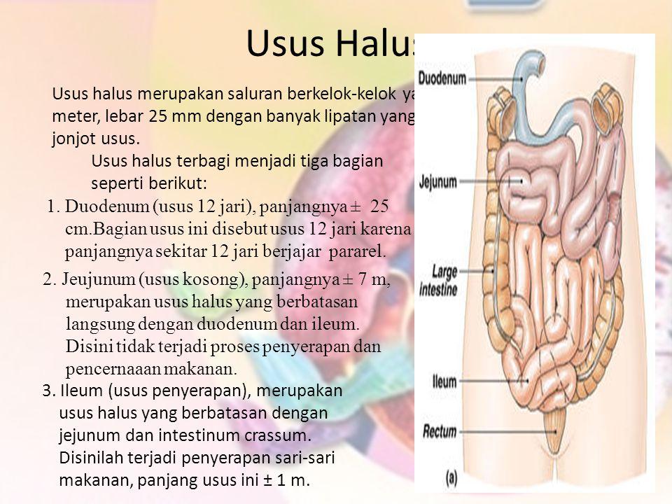Usus Halus Usus halus merupakan saluran berkelok-kelok yang panjangnya sekitar 6–8 meter, lebar 25 mm dengan banyak lipatan yang disebut vili atau jon