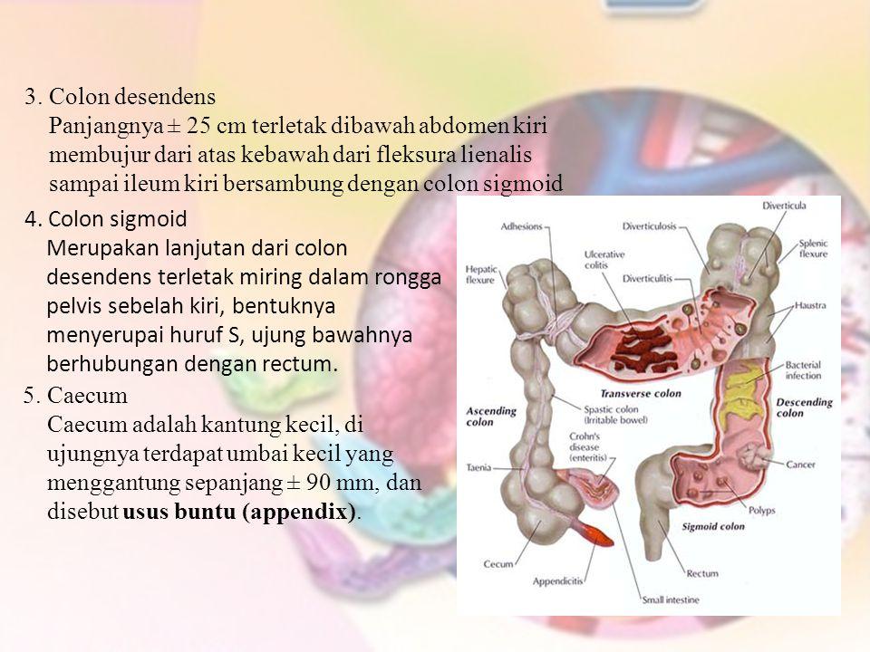 5. Caecum Caecum adalah kantung kecil, di ujungnya terdapat umbai kecil yang menggantung sepanjang ± 90 mm, dan disebut usus buntu (appendix). 4. Colo
