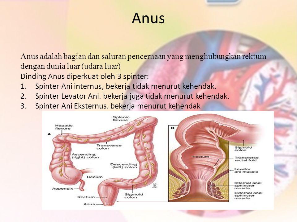 Anus Anus adalah bagian dan saluran pencernaan yang menghubungkan rektum dengan dunia luar (udara luar) Dinding Anus diperkuat oleh 3 spinter: 1.Spint