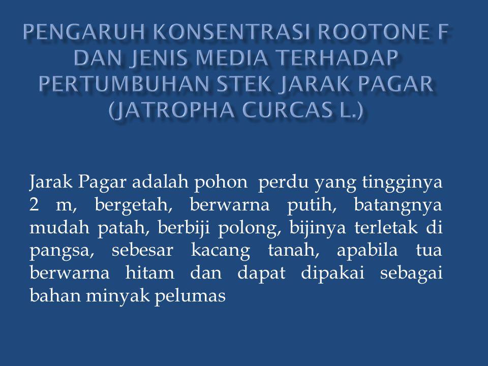 Jarak Pagar adalah pohon perdu yang tingginya 2 m, bergetah, berwarna putih, batangnya mudah patah, berbiji polong, bijinya terletak di pangsa, sebesar kacang tanah, apabila tua berwarna hitam dan dapat dipakai sebagai bahan minyak pelumas