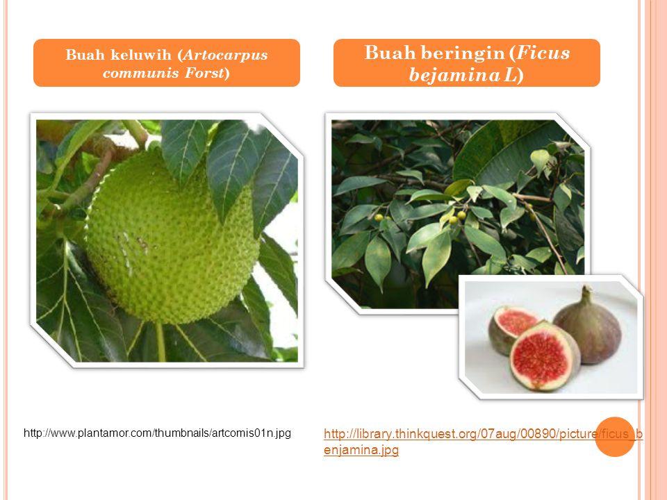 Buah keluwih ( Artocarpus communis Forst ) Buah beringin ( Ficus bejamina L ) http://www.plantamor.com/thumbnails/artcomis01n.jpg http://library.think