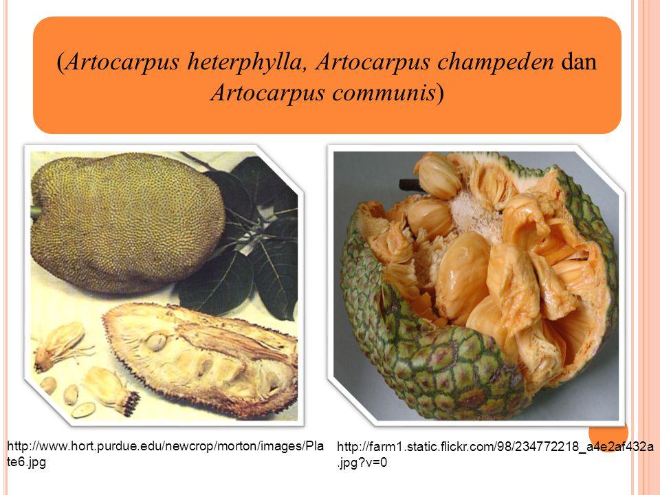 (Artocarpus heterphylla, Artocarpus champeden dan Artocarpus communis) http://www.hort.purdue.edu/newcrop/morton/images/Pla te6.jpg http://farm1.stati