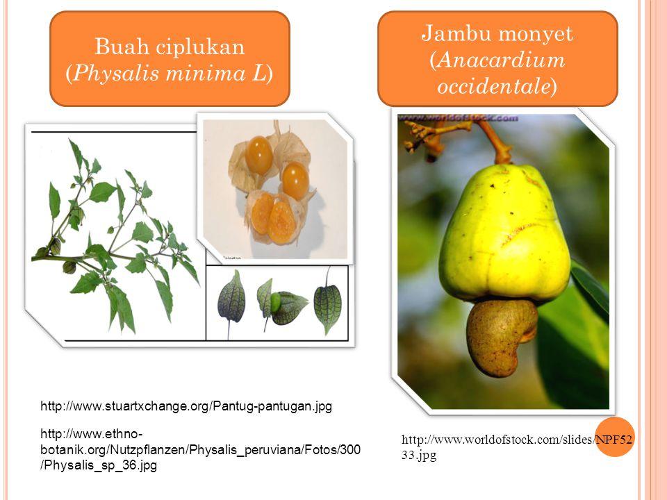 http://www.stuartxchange.org/Pantug-pantugan.jpg http://www.ethno- botanik.org/Nutzpflanzen/Physalis_peruviana/Fotos/300 /Physalis_sp_36.jpg Jambu mon